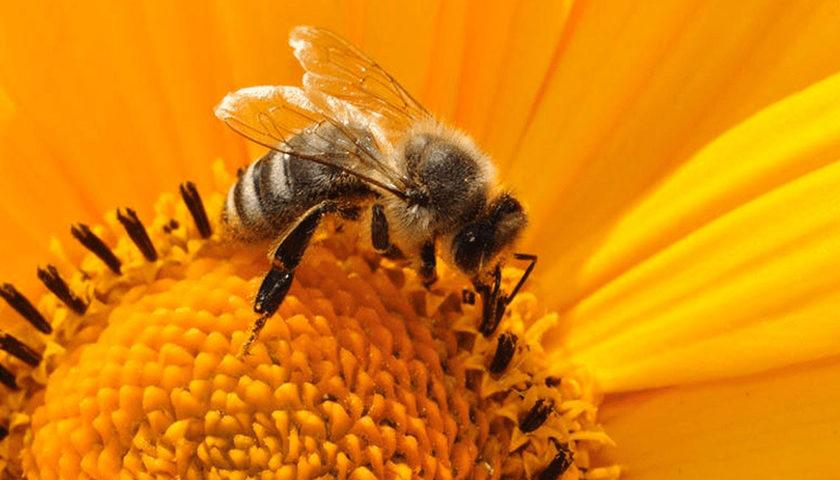 Αλλεργία σε υμενόπτερα